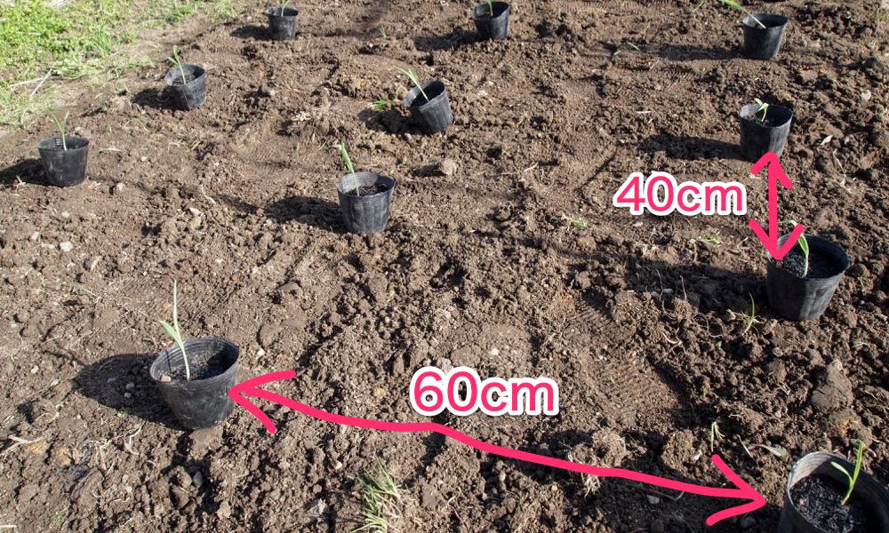 トウモロコシの栽培